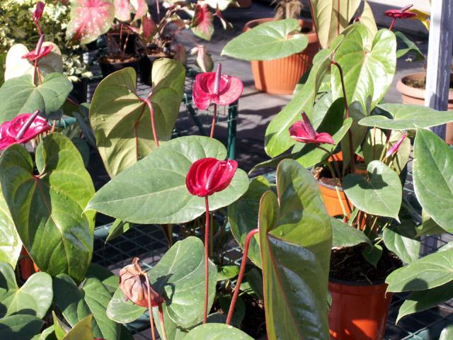 أشهر أنواع الورود بالصور وشرحها !