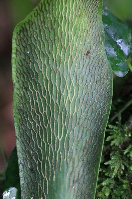 Antrophyum boryanum (Willd.) Spreng.