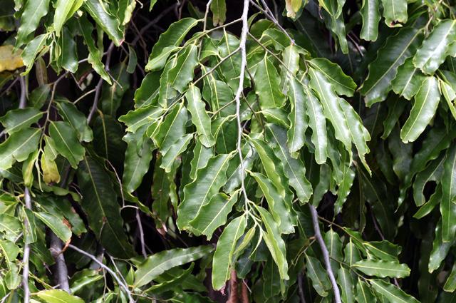 Feuilles : Arbre mât, Faux ashoka, Polyalthia longifolia