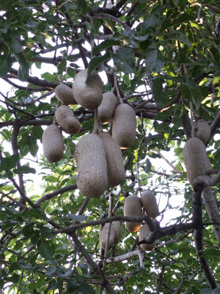 Arbre à saucisses Kigelia africana