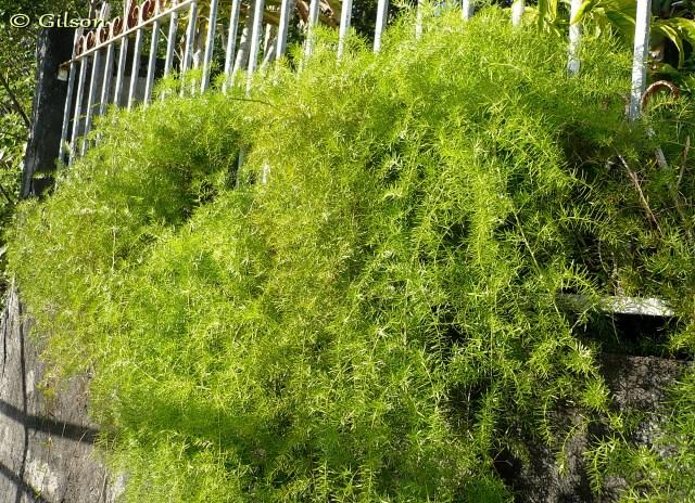 Asparagus densiflorus. Asparagus de Spenger.
