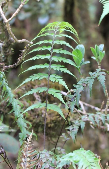 Asplenium affine Sw. Fougère de La Réunion.