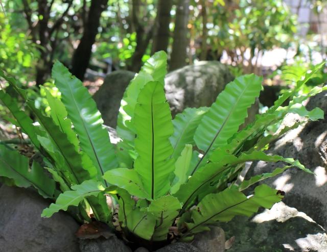 Asplenium nidus L. Fougère Nid d'oiseau.