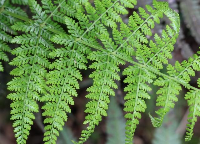 Athyrium scandicinum (Willd.) C. Presl.