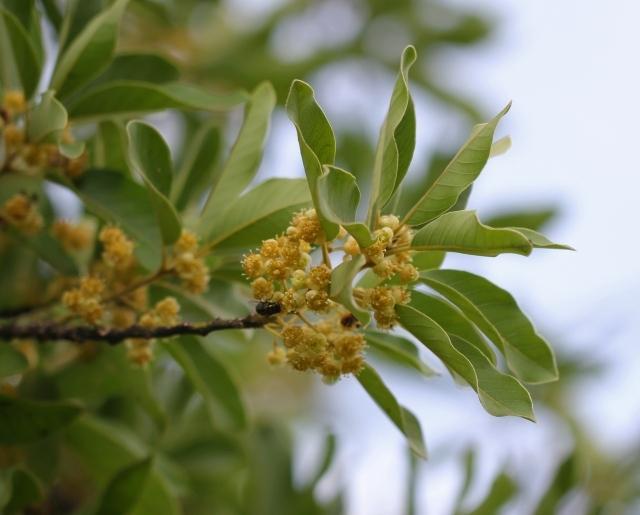 Fleurs. Litsea glutinosa.