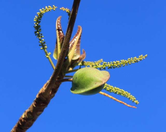 Terminalia catappa L. Fruit.