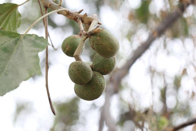 Aleurites moluccanus (L.) Willd. Fruits Noix de bancoul.