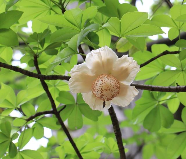 Fleur Baobab adansonia digitata