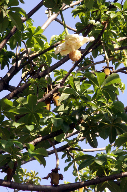 Fleur et fruits Baobab adansonia digitata