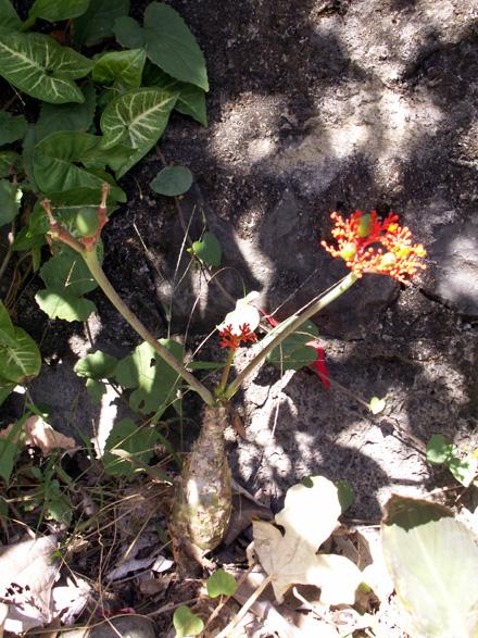 photos baobab nain ou fleur de corail ou plante bouteille ou m dicinier jatropha podagrica. Black Bedroom Furniture Sets. Home Design Ideas