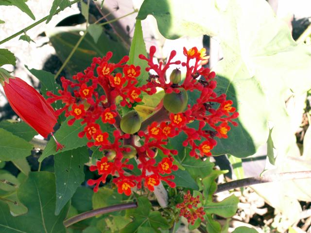 baobab nain ou fleur de corail ou plante bouteille ou m dicinier jatropha podagrica photo flore. Black Bedroom Furniture Sets. Home Design Ideas