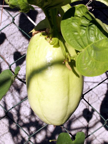Fruit : Barbadine. Grenadille à tige quadrangulaire. Passiflora quadrangularis
