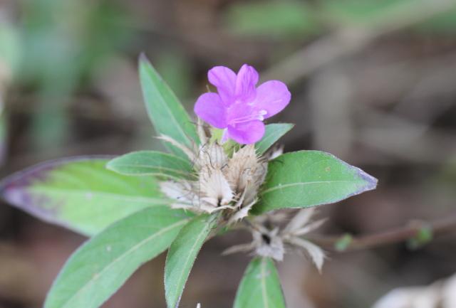 Barleria cristata L.