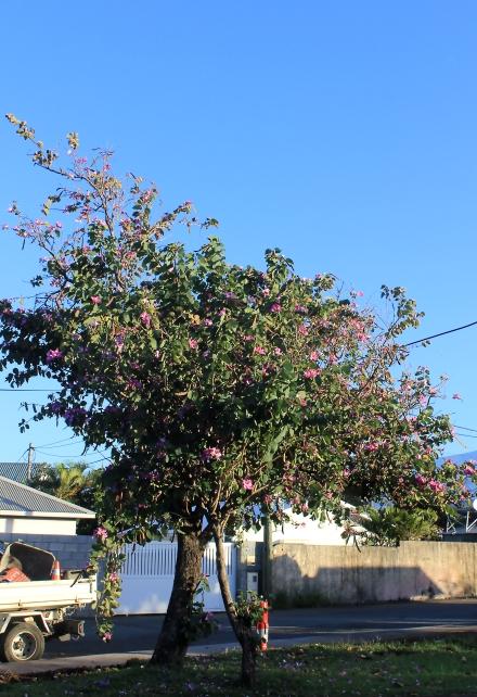 Bauhinia variegata L.