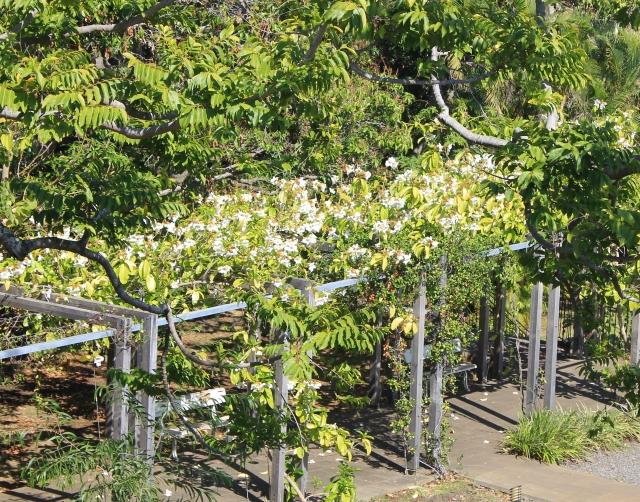 Beaumontia grandiflora Wall