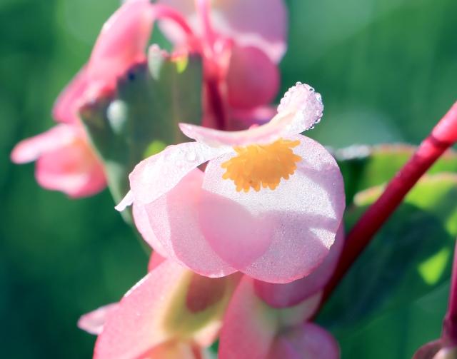 Begonia cucullata Willd. Fleur.