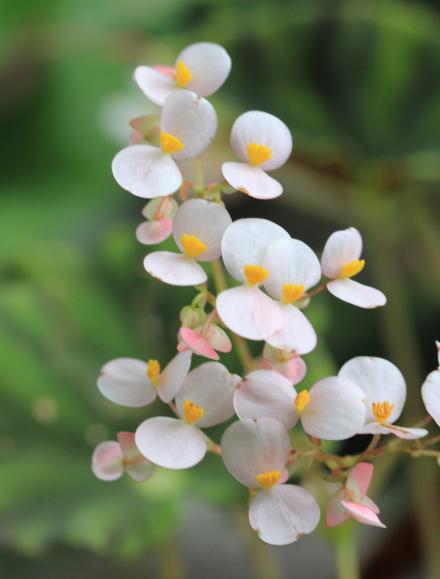 Begonia rex Putz, fleurs.