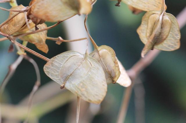 Begonia rex Putz, fruit.
