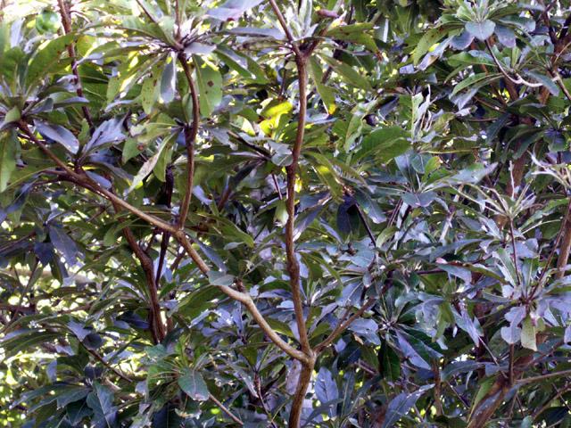 feuilles magnifique du benjoin pays