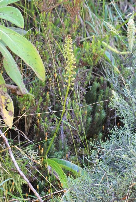 Benthamia latifolia (Thouars) A. Rich.