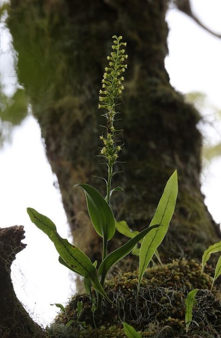 Benthamia nigrescens Schltr.