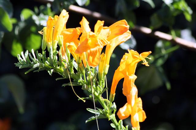 Fleurs Tecoma capensis.
