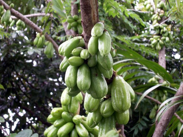 Fruits Bilimbi ou arbre à cornichons. Averrhoa bilimbi