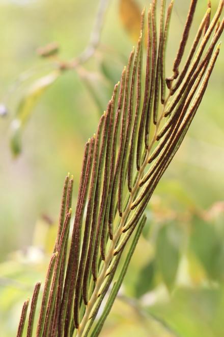 Blechnum tabulare (Thunb.) Kuhn. Pennes fertiles.