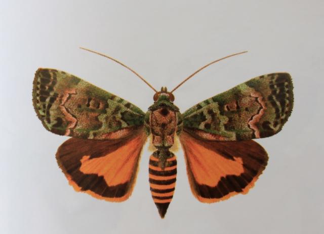 Blenina richardi (Viette, 1958), Papillon endémique de La Réunion