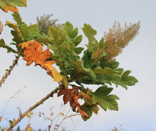 Bocconia frutescens L.
