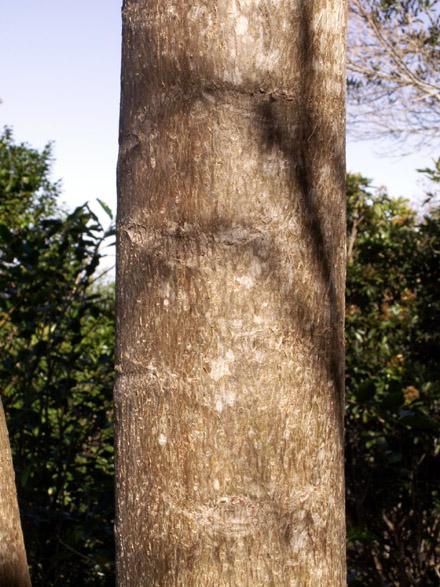 Polyscias cutispongia, Bois d'éponge. Arbre endémique de La Réunion : tronc.