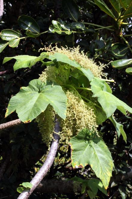 Inflorescences : Obetia ficifolia, Bois d'ortie