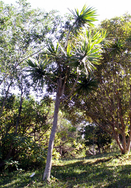 Dracaena reflexa Lam, Bois de chandelle