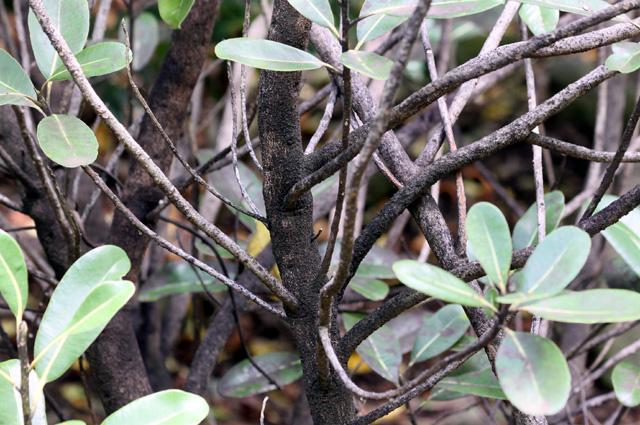 Bois de fer bâtard Sideroxylon borbonicum