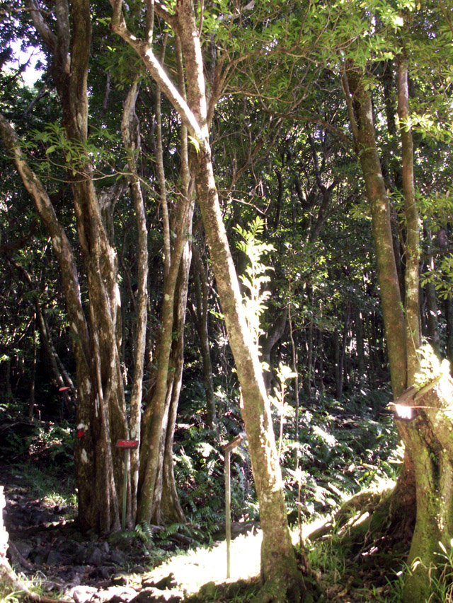 Bois de Gaulette Doratoxylon apetalum Indigène à La  ~ Bois De Madagascar
