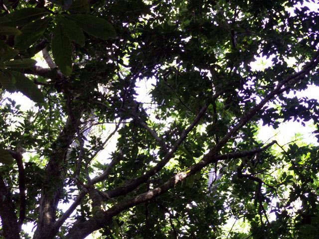 Doratoxylon apetalum, Bois de Gaulette