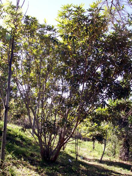 Bois de judas, Cossinia pinnata Comm. ex Lam