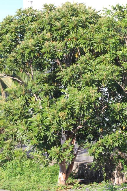 Cossinia pinnata. Bois de Juda.