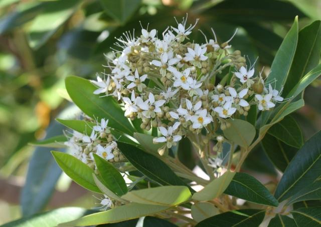 Inflorescence Cossinia pinnata. Bois de judas.