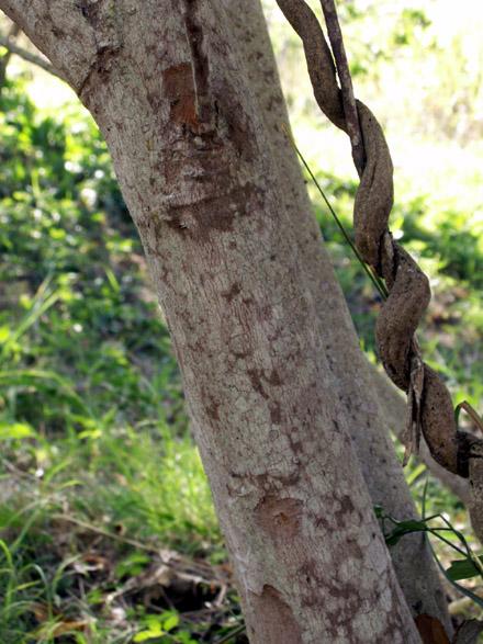 Cossinia pinnata Comm. ex Lam, Bois de judas : Tronc.