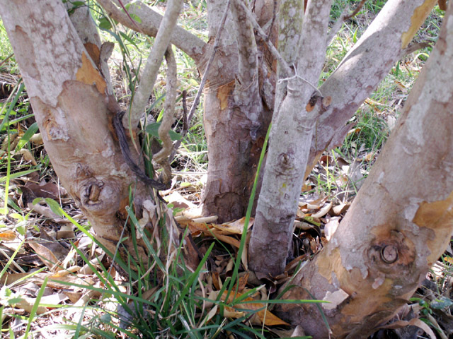 Cossinia pinnata Comm. ex Lam, Bois de judas : Troncs.