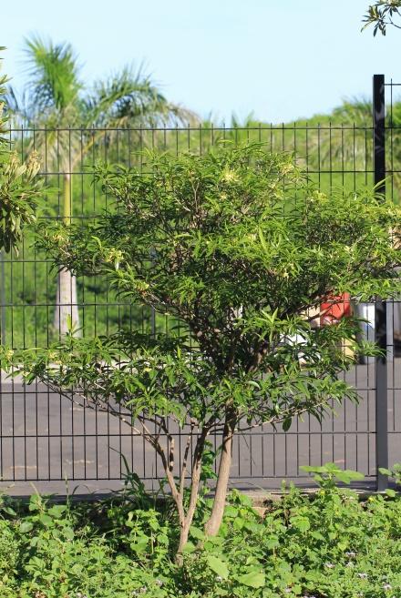 Bois de lait - Tabernaemontana persicariifolia   espèce endémique de La Réunion et île Maurice.