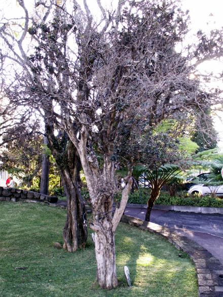 Bois de nèfles, Eugenia buxifolia Lam