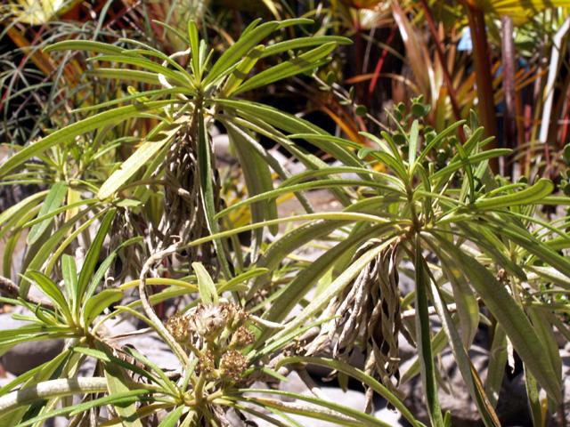 Bois de paille en queue - Monarrhenus salicifolius endémique de la Réunion et de Maurice