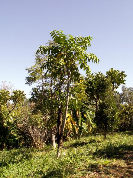 Bois de Papaye Polyscias rivalsii Bernardi endémique de La Réunion