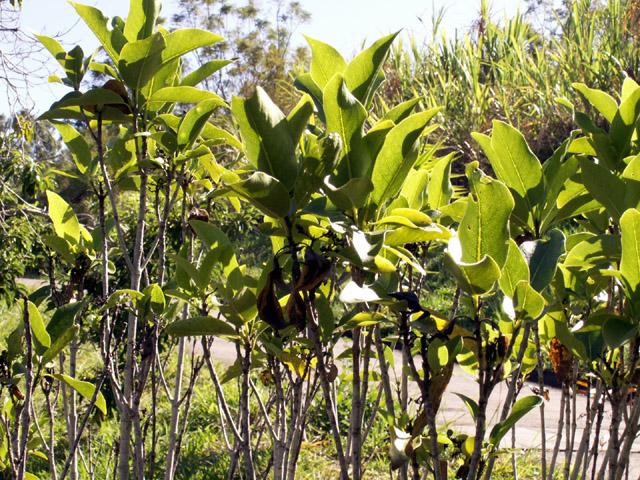 Coptosperma borbonica, Bois de Pintade Endémique La Réunion et Maurice