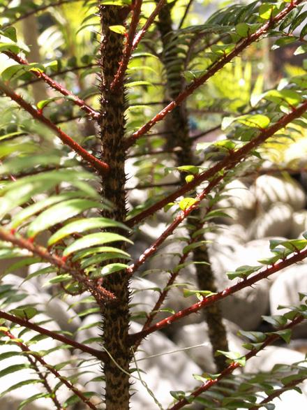 Bois de poivre - Zanthoxylum heterophyllum
