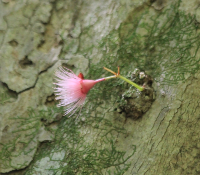 Syzygium Cymosum, Bois de pomme rouge.