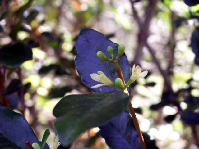 Bois de quivi Turraea thouarsiana Fleurs Endémique Réunion et Maurice