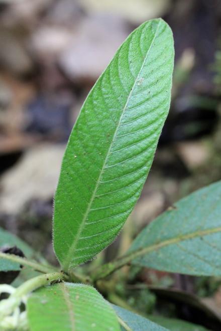 Bertiera rufa DC. Bois de raisin Endémique de La Réunion